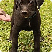 Adopt A Pet :: Freddy - Staunton, VA