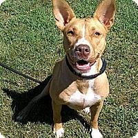 Adopt A Pet :: Ginger- Courtesy Listing - Fredericksburg, VA