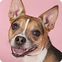 Adopt A Pet :: Captain Boggle - Chicago, IL
