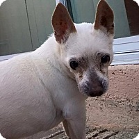 Chihuahua Mix Dog for adoption in Las Vegas, Nevada - Al