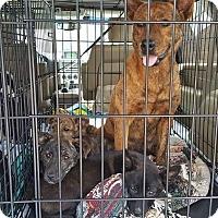 Adopt A Pet :: Nutmeg/Basil/Sage/Cayenne - Triangle, VA