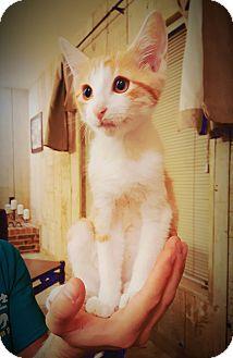 Domestic Mediumhair Kitten for adoption in DFW, Texas - Einstein