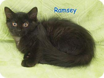Domestic Mediumhair Kitten for adoption in Elkhorn, Wisconsin - Ramsey