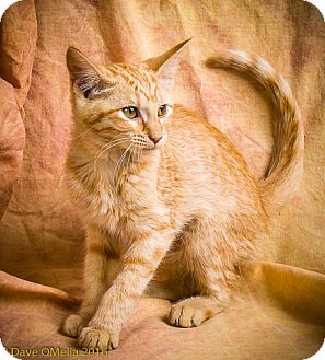 Domestic Shorthair Kitten for adoption in Anna, Illinois - HONEY