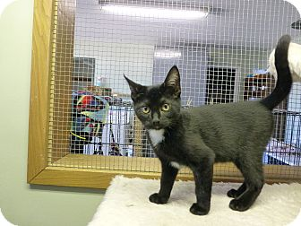 Domestic Shorthair Kitten for adoption in Quincy, California - Aretha