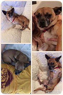 Chihuahua Mix Dog for adoption in Mesa, Arizona - Sparky – 3 year Chihuahua Male