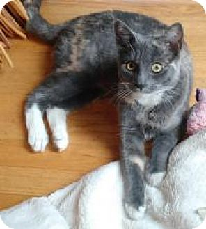 Domestic Shorthair Kitten for adoption in San Carlos, California - Willa