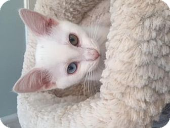 Domestic Shorthair Kitten for adoption in Los Angeles, California - Freckles