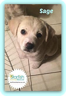 Great Pyrenees Mix Puppy for adoption in Plainfield, Illinois - Sage