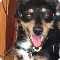 Dachshund/Terrier (Unknown Type, Medium) Mix Dog for adoption in Vancouver, Washington - Jack