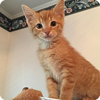 Domestic Shorthair Kitten for adoption in Burlington, North Carolina - CARL
