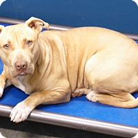 Pit Bull Terrier Mix Dog for adoption in Henderson, North Carolina - Deena (HW Neg)*