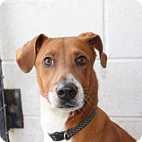 Adopt A Pet :: Bella - Harrisonburg, VA