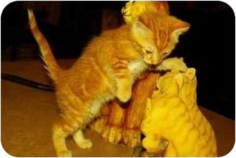 Domestic Longhair Kitten for adoption in Witter, Arkansas - Ralph