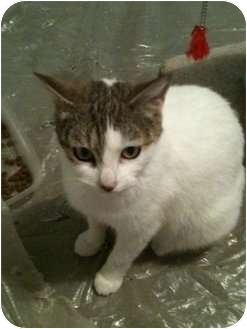 Domestic Shorthair Cat for adoption in Montreal, Quebec - Lola