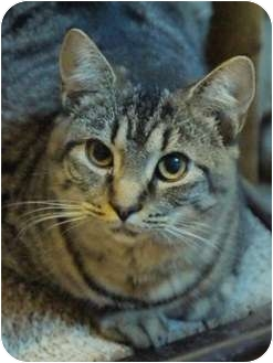 Bengal Cat for adoption in Ocean City, New Jersey - Shannon