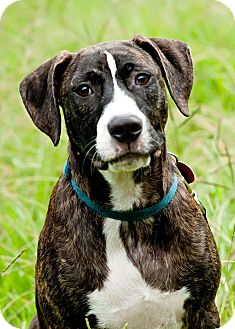Plott Hound Mix Puppy for adoption in Tallahassee, Florida - Skipper