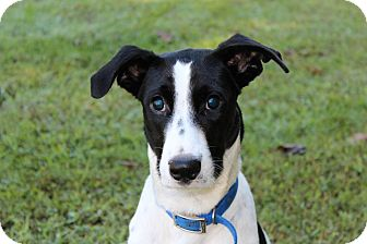 German Shorthaired Pointer/Labrador Retriever Mix Puppy for adption in ...