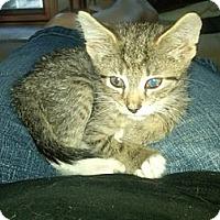 Adopt A Pet :: Luke (bottle baby) - Sterling Hgts, MI