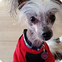 Adopt A Pet :: Bo (PA) - Gilford, NH