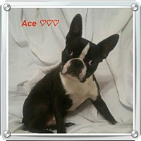 Adopt A Pet :: Ace - Chester, IL