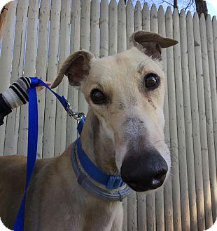 Greyhound Dog for adoption in Swanzey, New Hampshire - Nutmeg