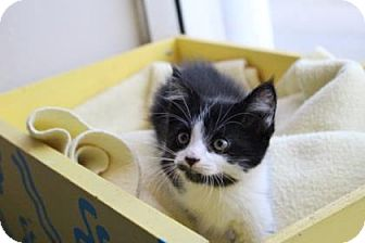 Domestic Mediumhair Kitten for adoption in West Des Moines, Iowa - Edward