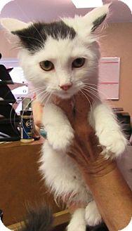 Domestic Mediumhair Kitten for adoption in Port Jervis, New York - Soo