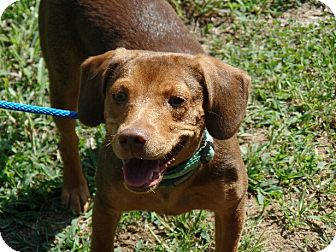 Beagle/Dachshund Mix Puppy for adoption in Ashburn, Virginia - Grace