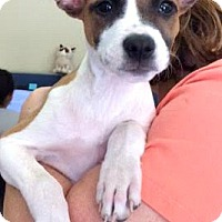Labrador Retriever/Border Collie Mix Puppy for adoption in Boulder, Colorado - Millie-ADOPTION PENDING