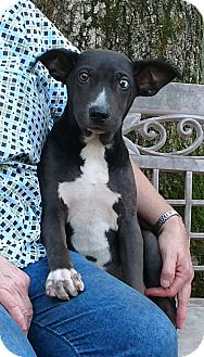 Catahoula Leopard Dog/German Shepherd Dog Mix Puppy for adoption in Minneapolis, Minnesota - Blue