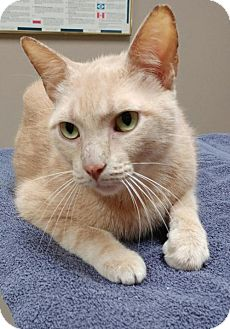 Domestic Shorthair Cat for adoption in Baton Rouge, Louisiana - Sam