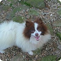 Adopt A Pet :: Clancey - Allentown, PA