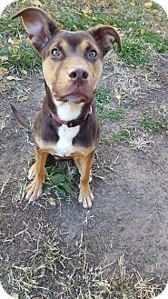 Australian Shepherd/Labrador Retriever Mix Dog for adoption in Fort Riley, Kansas - Reeses