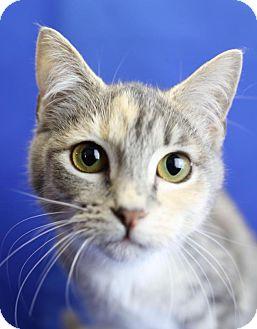 Domestic Shorthair Kitten for adoption in Winston-Salem, North Carolina - Primrose