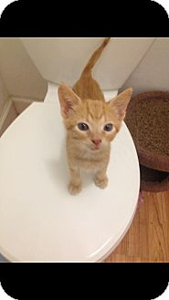 Domestic Shorthair Kitten for adoption in Miami Shores, Florida - Victor