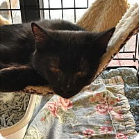 Adopt A Pet :: Black kittens - Clay, NY