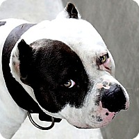 Adopt A Pet :: Chance - west hollywood, CA