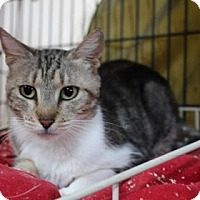Domestic Shorthair Cat for adoption in Tucson, Arizona - Carrie