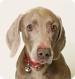 Weimaraner Dog for adoption in Birmingham, Alabama - Abby
