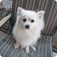 Adopt A Pet :: Diva Daisy - El Paso, TX