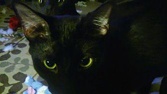 Domestic Shorthair Cat for adoption in Centerton, Arkansas - Cerise
