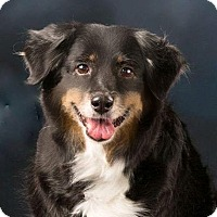 Adopt A Pet :: Blair - MINI AUSSIE - Mesquite, TX