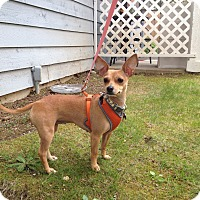 Adopt A Pet :: Chiquita - Adoption Pending - Gig Harbor, WA