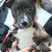 Adopt A Pet :: Joy - Mount Laurel, NJ