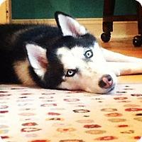 Adopt A Pet :: Mishka - Alpharetta, GA