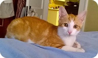 Domestic Shorthair Kitten for adoption in Oviedo, Florida - Pete