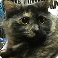 Maine Coon Cat for adoption in Herndon, Virginia - Starshine *Maine Coon