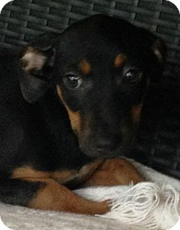 Rat Terrier Mix Puppy for adoption in Boston, Massachusetts - Meka