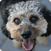 Poodle (Miniature) Dog for adoption in Canoga Park, California - Billy